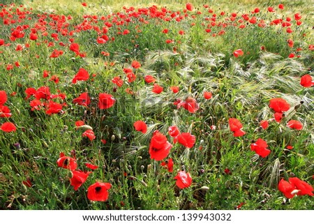 Field of red poppy flowers