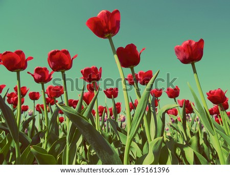 field of red tulips blooming - vintage retro style
