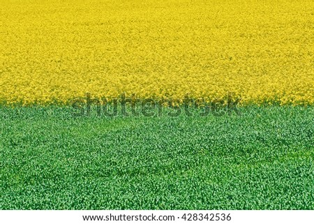 Field of Ripe Colza and Green Wheat - stock photo