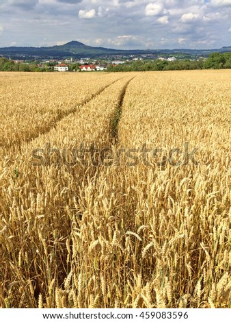 field of ripe rye with blue sky