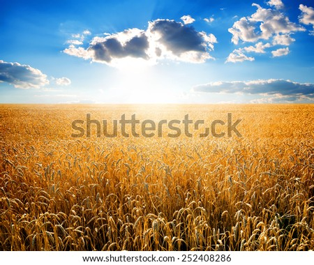 Field of ripe wheat at sunny day - stock photo