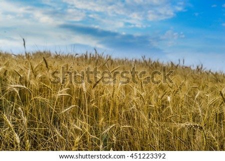 Field of ripe wheat in the evening, on the clouds in the sky and the beautiful sunshine