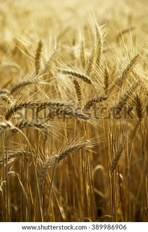 Field of ripe wheat on a clear sunny day - stock photo