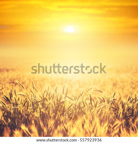 Field of ripe wheat on colorful sunset. Rural landscape.
