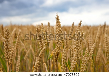 Field of ripe wheat over cloudy sky - stock photo