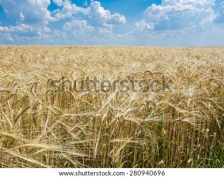 Field of ripening barley against the sky with clouds