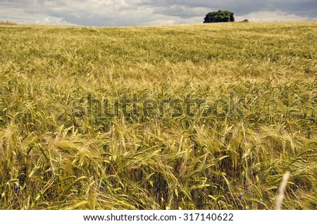 Field of ripening barley on stormy summer's day
