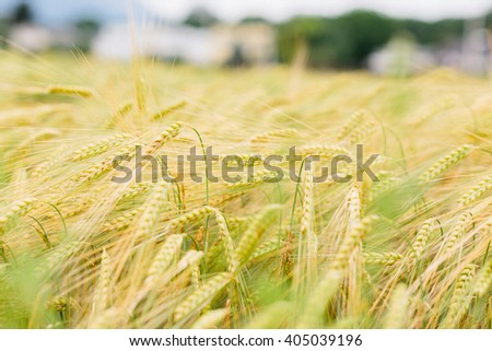 Field of ripening ears of golden wheat in a low angle selective focus view with background blur for copy space