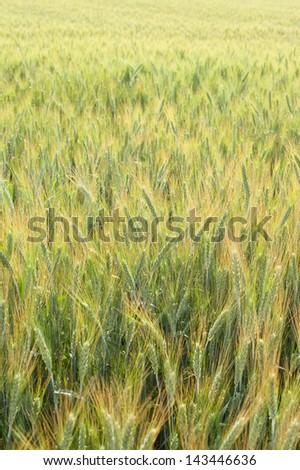 Field of rye in summer. - stock photo