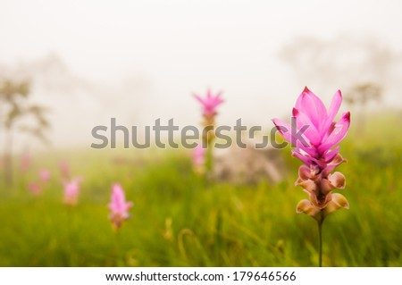 Field of siam tulip flowers - stock photo