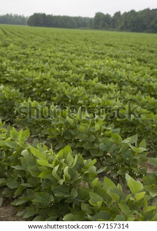 field of soy beans in the summer growing season