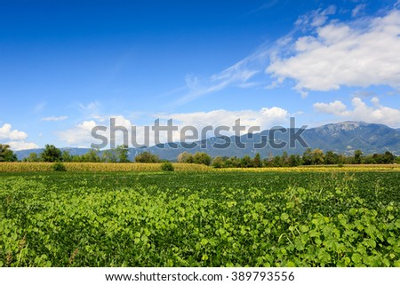 Field of soybean with mountains in background. Italian agriculture. Rural scenery