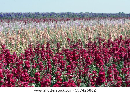 Field of stock flowers growing in the Imperial Valley, California. - stock photo