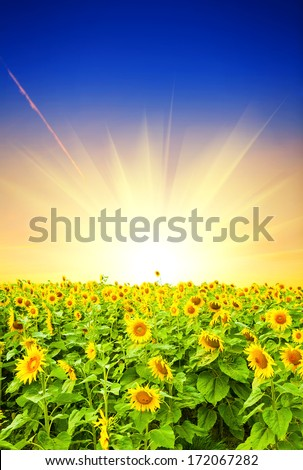 field of sunflower at sunset - stock photo