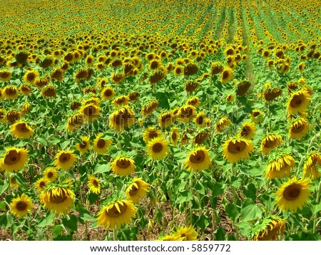 Field of sunflower in the region alentejo portugal. - stock photo