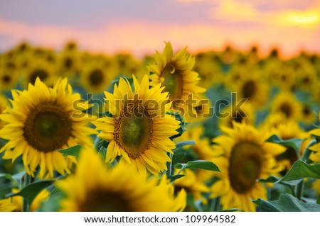 Field of sunflowers against beautiful evening sky - stock photo