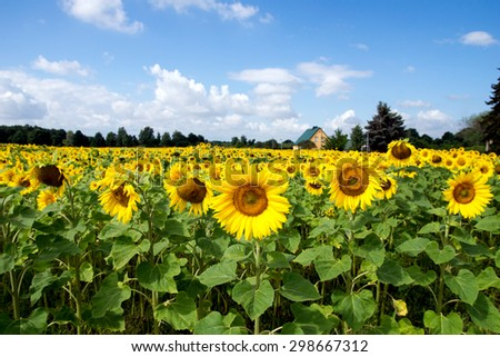 Field of sunflowers and blue sky with clouds / Sunflowers - stock photo