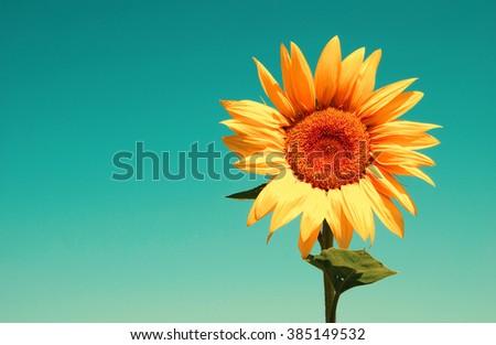 field of sunflowers and blue sun sky - stock photo