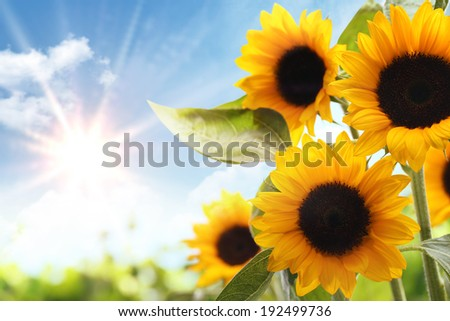 Field of sunflowers in the morning - stock photo