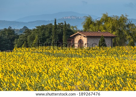 Field of Sunflowers in Tuscany Landscape, Italy - stock photo
