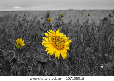 Field of sunflowers on a background of blue sky