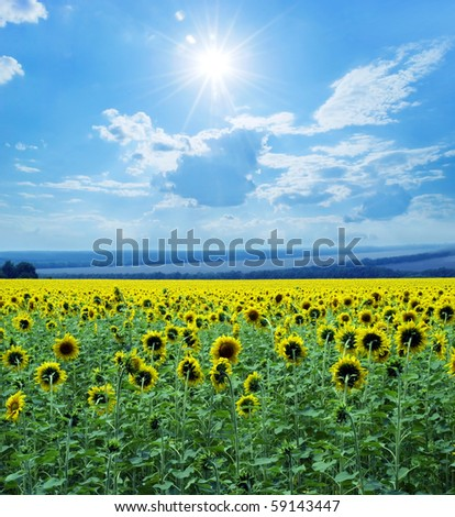 Field of sunflowers on a background of the blue sky. - stock photo