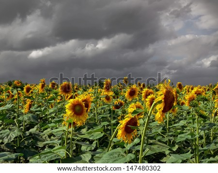 Field of sunflowers on the storm sky background - stock photo