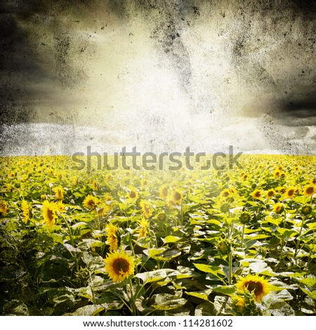 Field of sunflowers under cloudy sky. Grunge paper background - stock photo