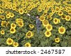 Field of sunflowers with happy woman. Blissful field of sunflowers. Horizontal view. - stock photo