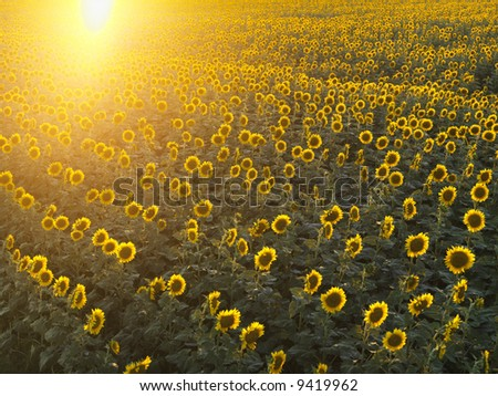 Field of sunflowers with sunshine. - stock photo