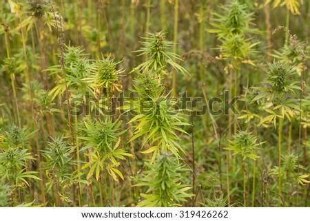 Field of technical Cannabis plants for industrial use, Canopy of Mature Plants with Buds and Leaves - stock photo
