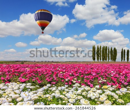 Field of the blossoming buttercups - ranunculus of white and lilac color. Windy spring day. Huge balloon flies over a field - stock photo