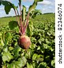 Field of the red beetroot. - stock photo