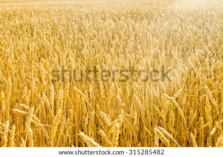 Field of the Ripe Wheat in Rays of  Sunset - stock photo
