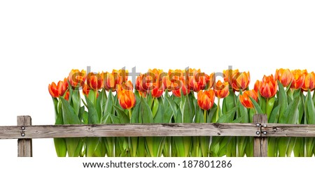 Field of tulips behind fence - stock photo