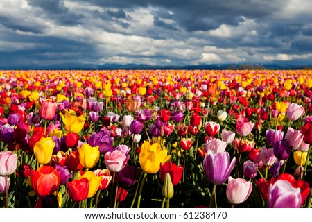 field of tulips in Spring under dramatic sky - stock photo