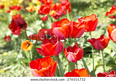 Field of tulips in the sunlight. Beautiful tulips on green background. Selective Focus. - stock photo