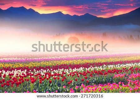 Field of tulips of different breeds on the backdrop  wilderness after rain misty morning among bright spring greens in the mountains in the warm golden rays of sunrise sun-natural beauty of the Earth - stock photo