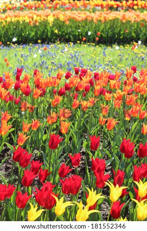 Field of tulips of different colors in sunlight. This picture was made in spring in the park Britzer garten in Berlin