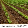 Field of turnips beginning to grow - stock photo