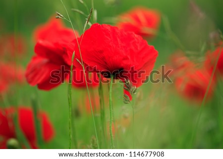 Field of vibrant red poppies blowing in the breeze