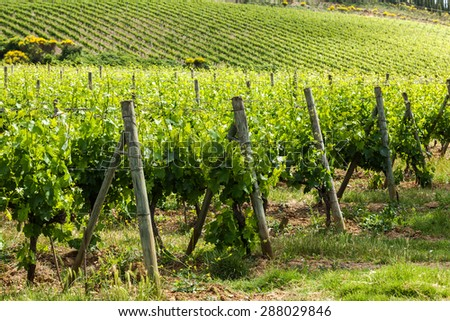 Field of vines in the countryside of Tuscany, Italy - stock photo