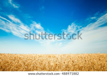Field of wheat against the blue sky