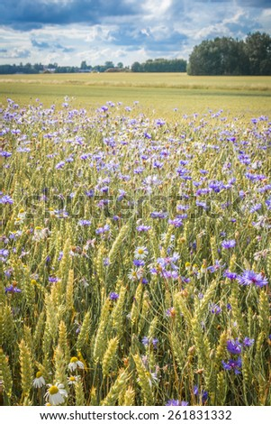 Field of wheat and cornflower in Sweden - stock photo