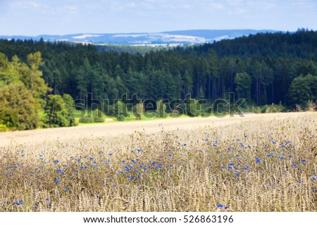 Field of Wheat and Cornflowers in Summer