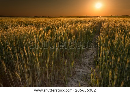 Field of wheat crops in drought seasons opposite the setting sun - stock photo