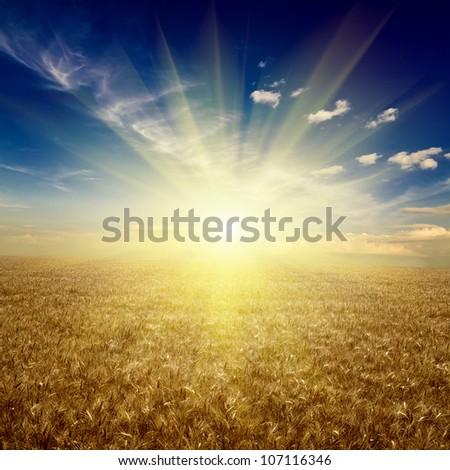 field of wheat. meadow wheat under sky - stock photo