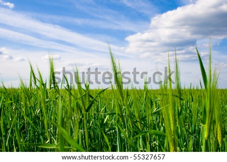 Field of wheat on a background