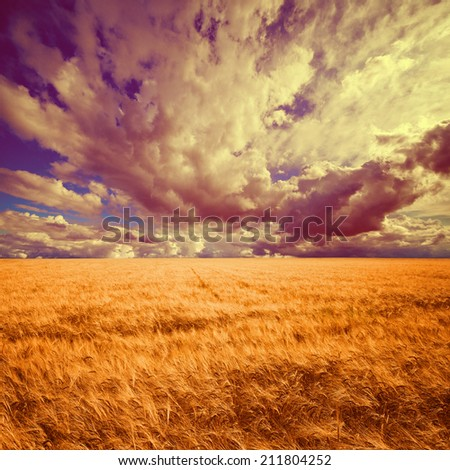 Field of wheat ready to be harvested with beautiful cloudy blue sky background