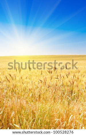 Field of wheat with blue sky